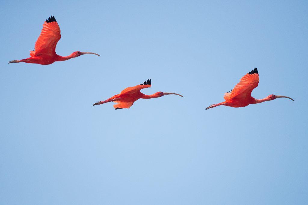 Suriname vogels