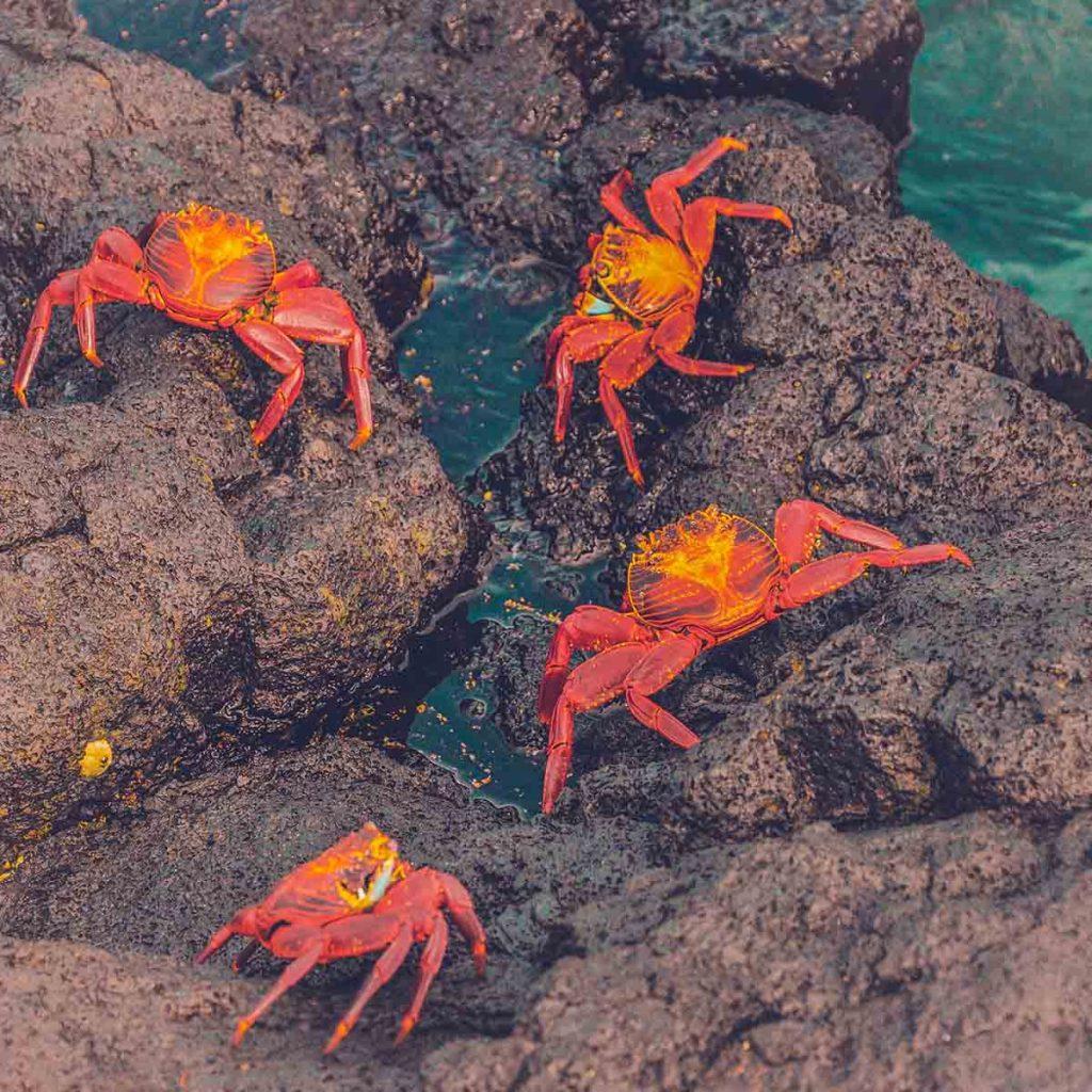 galapagos-eilanden-krabben-travesol
