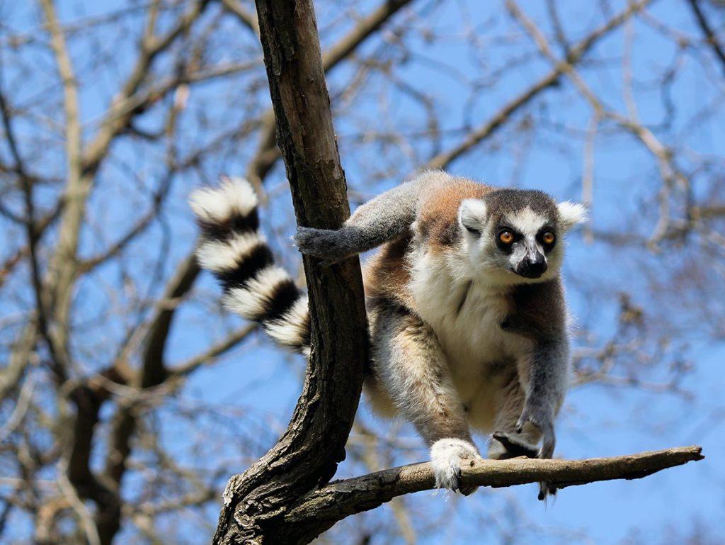 madagaskar-lemuren-travesol